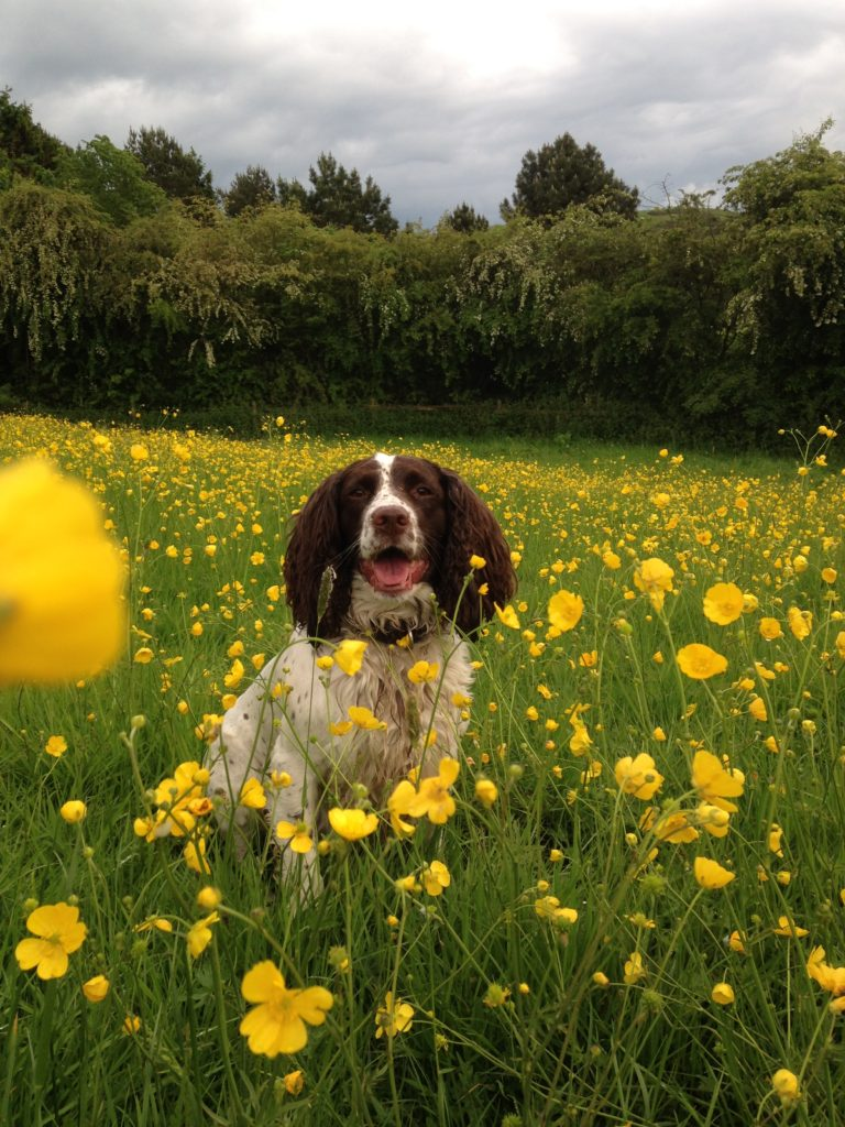 Lola in the buttercups